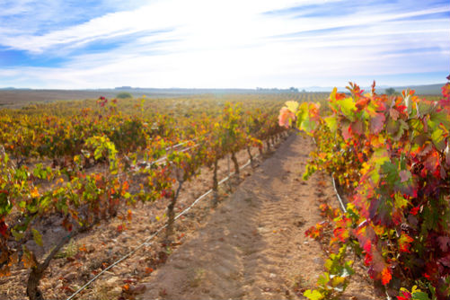 Our vineyards in Autumn